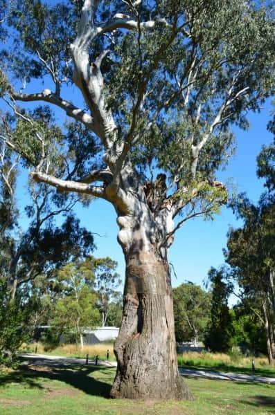 The canoe tree Yingabeal, Heide Museum of Modern Art, Melbourne, photo by Chris Blampied